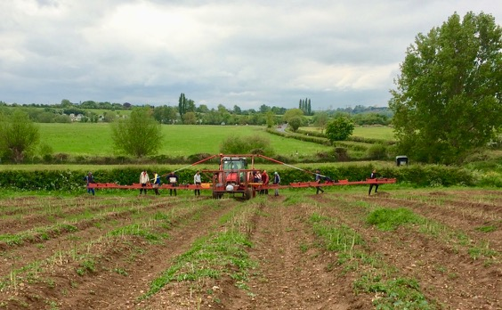 Harvesting asparagus by hand - the tractor is just carrying the boxes